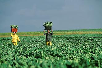 Farmworkers harvesting in the fields