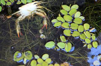 Dead crabs and fish float in the oil-covered waters off the coast of Louisiana (Erika Blumenfeld)