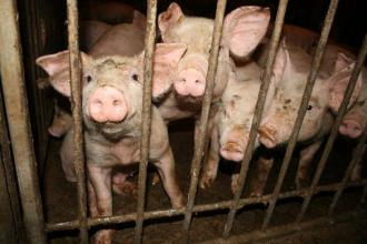 Cramped conditions inside an industrial pig farm