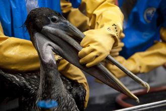Workers in a Fort Jackson, La., rescue center clean oil from a brown pelican