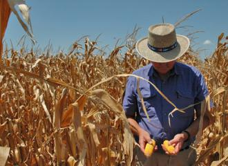 Drought caused by climate change is affecting U.S. corn crops (AgriLife Today)