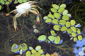 Dead crabs and fish float in the oil-covered waters off the coast of Louisiana