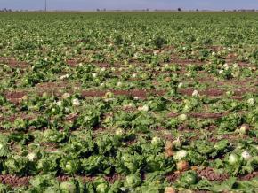 A field of romaine lettuce during harvest season in Yuma County, Arizona